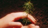 Sadzenie drzew z odkrytymi korzeniami