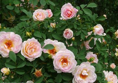 Przycinanie róż. Cięcie róż wielkokwiatowych, rabatowych, pnących, piennych