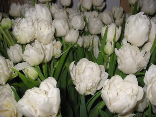Tulipany - podział na grupy