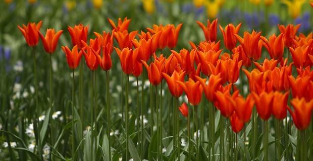 Kiedy sadzimy tulipany